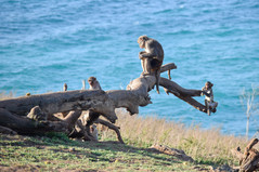 Fallen branch with some monkeys at Cayo