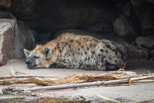 Sleeping hyena at Toronto Zoo