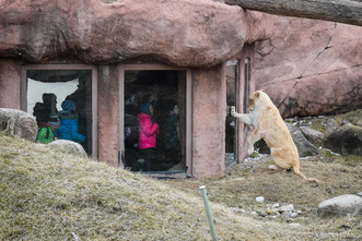 Lion pawing at children through the glass at Toronto Zoo