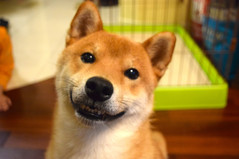 Aki cheesing hard (I dogsat him when he was a puppy)