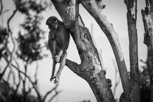 Thoughtful monkey at Cayo