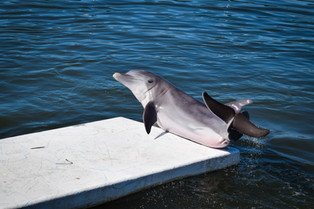 Showing off at Dolphin Research Center in Florida