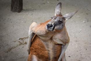 Scratchy kangaroo at Toronto Zoo