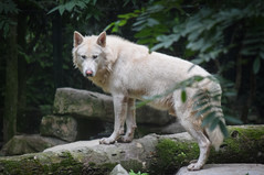 Majestic wolf at Shanghai Zoo