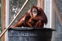Thoughtful orangutan in Toronto Zoo, spring break 2018