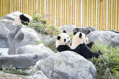 Spotted by the pandas that were leaving the Toronto Zoo