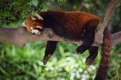 Red panda snoozing away at Shanghai Zoo