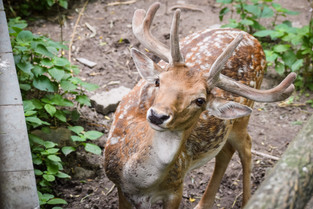Curious deer at Shanghai Zoo