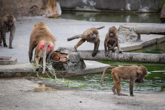 Some baboon drama at Shanghai Zoo
