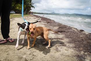Fenway (now Charlie) & Lunch pre-rescue in Punta Santiago, PR, summer 2017
