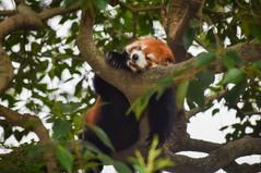 Sleepy red panda at Shanghai Zoo