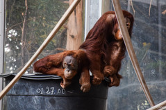 Two orangutans in a bucket at Toronto Zoo