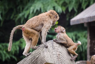 Two baboons at Shanghai Zoo