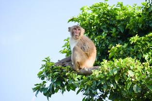 Monkey looking afar at Cayo Santiago Biological Field Station, spring 2020