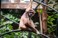 Gibbon at Toronto Zoo