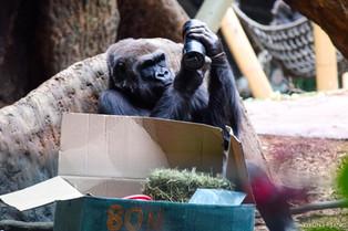 Gorilla during enrichment at Toronto Zoo