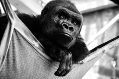 Pensive gorilla at Lincoln Park Zoo in Chicago
