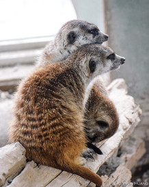 Cuddle party with the meerkats at Toronto Zoo