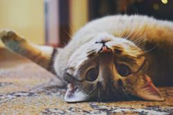 silver-tabby-cat-1276553