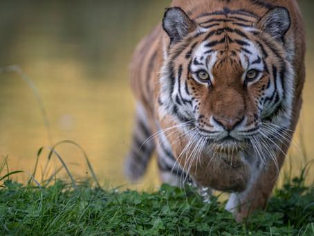 Zanshin. La lezione della tigre.