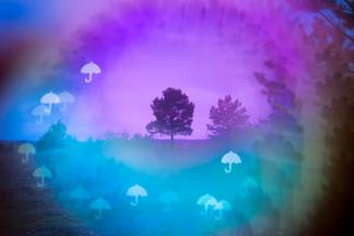 Umbrella Pine