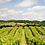 Thumbnail: Penarth Vineyard
