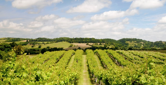 Penarth Vineyard