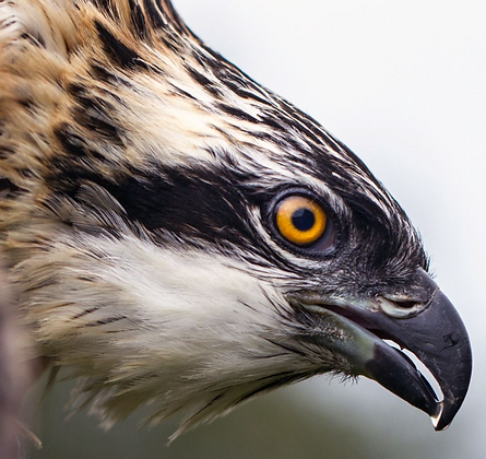 The Dyfi Osprey Project