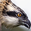 Thumbnail: The Dyfi Osprey Project