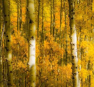 SFG307 Aspen Forest