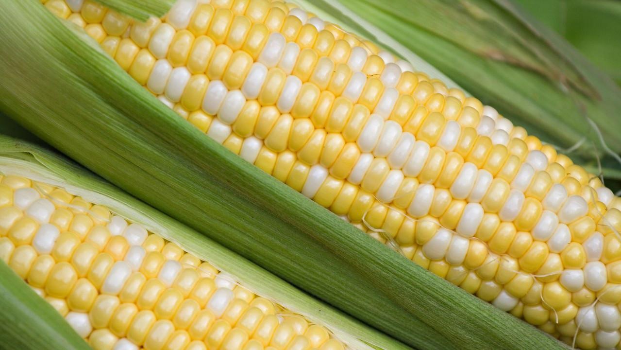 bicolor-corn-090616