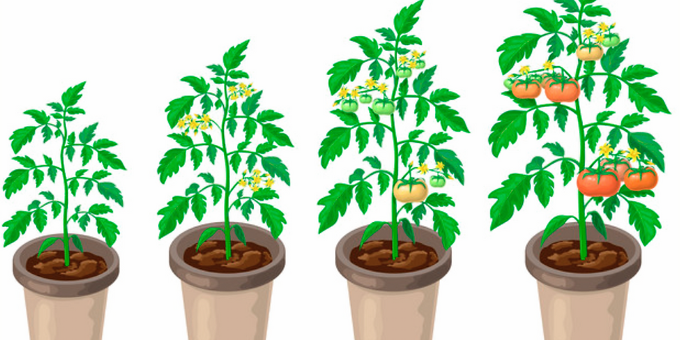 Organic Herb and Vegetable Plants sale