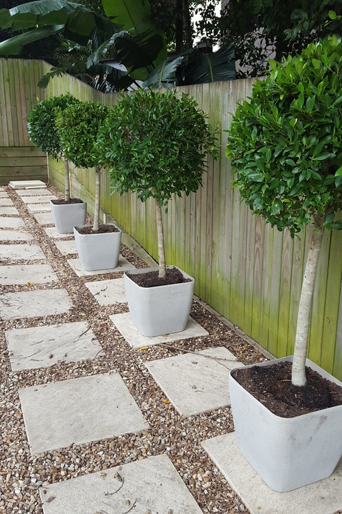 Potted ficus trees with fairy lights