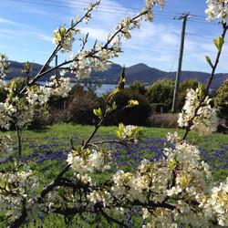 Springtime apricot blossoms