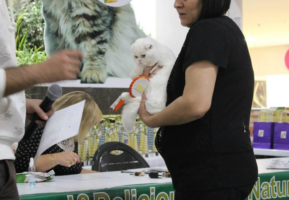 beyaz-kedi-iskoc-kivrik-kulak.jpg