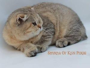 Scottish Fold Büyük dişi kedi * İkizler
