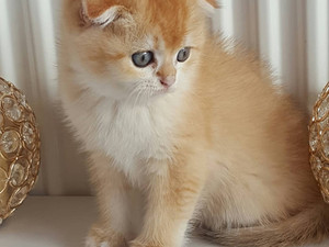 Scottish Fold golden shell erkek yavru