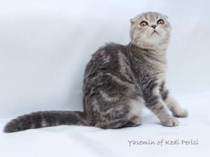 Scottish Fold dişi yavru * Yasemin