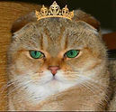 Scottish Fold Golden Shaded Ticked Tabby ALTIN renkli TÜrkiye'nin ilk golden shaded ticked tabby ALTIN SİNCAP kürklüscottish fold kedisi Doğum ülkesi: ALMANYA