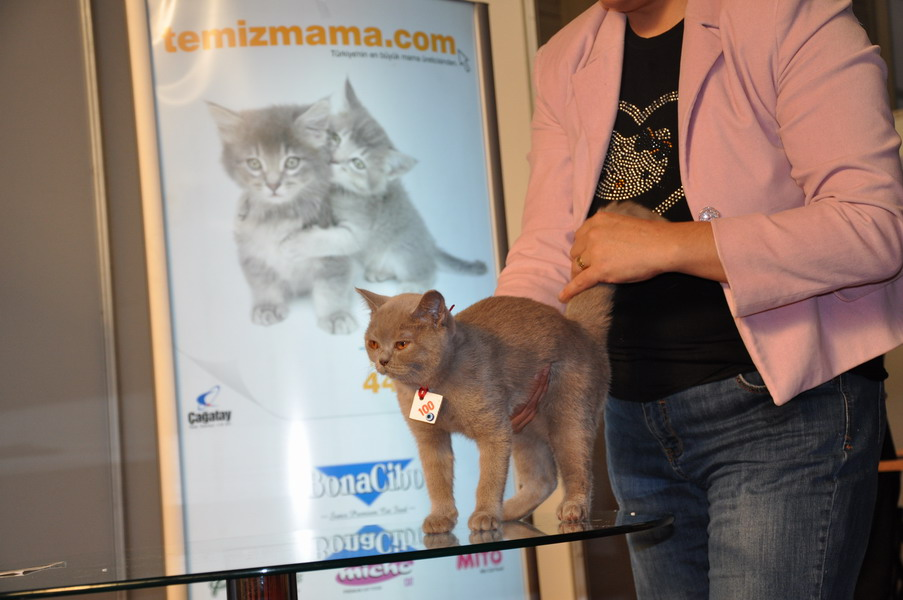 British SHorthair Lilac kedim