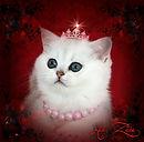 Bailey von Mursilka Kedizade British Shorthair Silver Shaded Black Ticked Tabby Irkı : British SHorthair Doğum ülkesi: ALMANYA