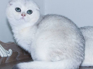 Silver Shaded Scottish Fold Erkek Yavru