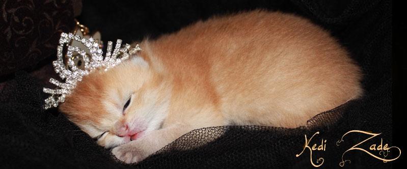 scottish-fold-kitten-golden.jpg