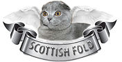 Scottish Fold kedi