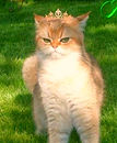 Arisha von Mursilka Kedizade British Shorthair Golden Shaded Black Ticked Tabby Irkı : British SHorthair Doğum ülkesi: ALMANYA