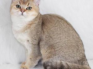 British Shorthair dişi büyük kedi * Baileys