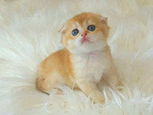 Golden Shell Scottish Fold male kitten