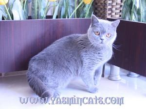 British Shorthair Dişi Kedi ŞANS