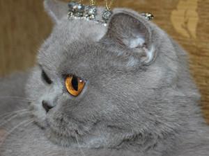 British Shorthair lilac dişi kedi ASYA