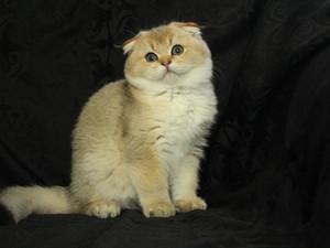 Scottish Fold erkek yavru * Dünyanın en güzel kedisi